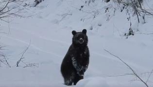 """""""Grzesiu"""", niedźwiedź"""