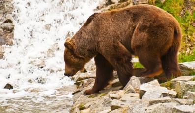 Niedźwiedź zaatakował turystę na Podkarpaciu