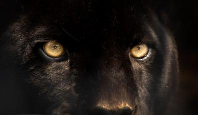 Czarna puma