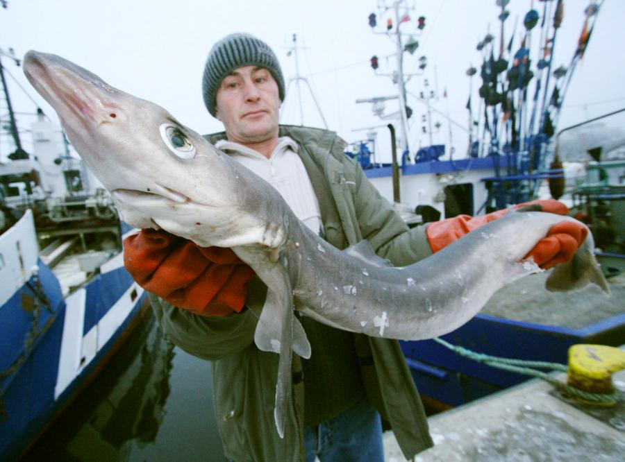 Rybacy z Kołobrzegu złowili w Bałtyku rekina