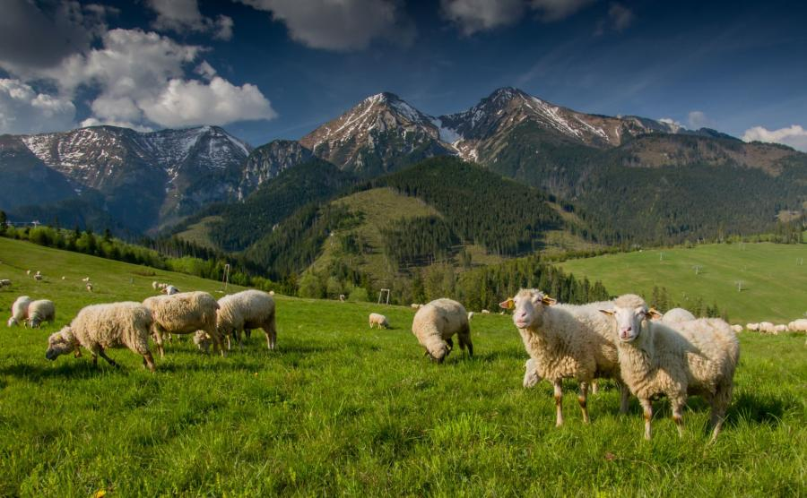 Owce w Tatrach